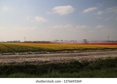 Fields with rows of pink tulips in springtime for agriculture of flowerbulb on island Goeree-Overflakkee in the Netherlands, taken from public place