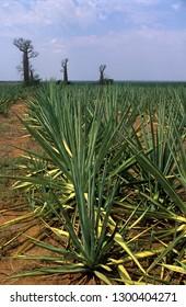 Fields of sisal in Madagascar