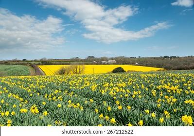 Fields of spring daffodils growing near Helston in Cornwall