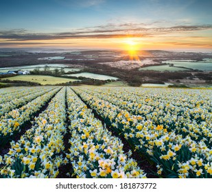 Fields of spring Daffodils at sunrise