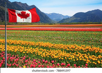 Fields of tulips in British Columbia, Canada with a Canadian flag in the foreground.