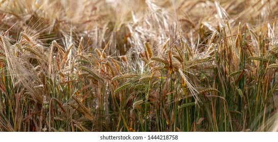 Fields of wheat or barley perfect for office or home photo decor.