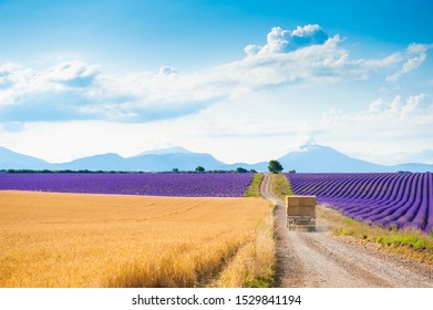 Fields of wheat and lavender near Valensole, Provence, France. A truck with haystacks rides along the road between the fields