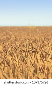 Fields of wheat in  Morioka,  Iwate,  Touhoku, Japan