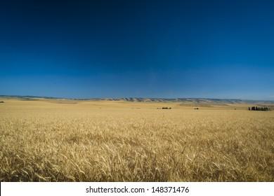 Fields of wheat fields ready for harvest in Washington State