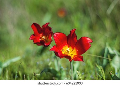 Fields of wild steppe Shrenk tulips on a sunny day.