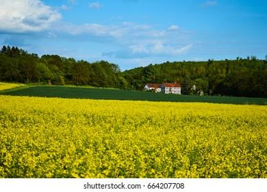 Fields with yellow rape