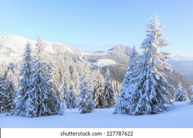 Fiends trees standing one after another covered with thick snow on a beautiful morning full of joy and happiness.