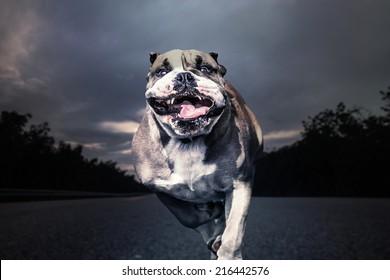 Fierce bulldog runs along a solitary road