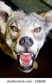 Fierce coyote with teeth bared glaring at the camera