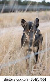 Fierce farm dog on a farm behind a fence and grass