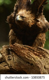 Fierce golden eagle (Aquila chrysaetos)  stretches his wings