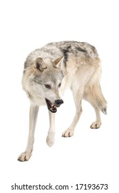 Fierce gray wolf isolated on a white background