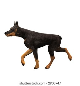 The fierce and loyal Doberman in a variety of poses and views.