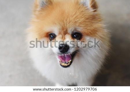 Fierce Pomeranian Dog Cute Funny Small Stock Photo Edit Now