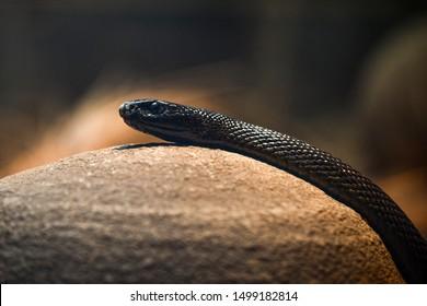 fierce snake crawling over a rock
