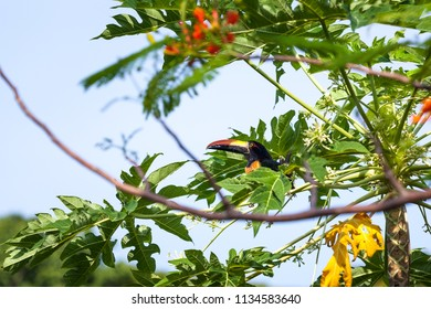 A fiery billed aracari bird perched on a papaya tree in tropical Costa Rica.
