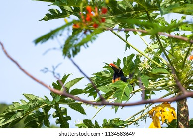 A fiery billed aracari perched on a papaya tree eating blooms in Costa Rica.
