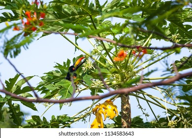 Fiery billed aracari perched in a papaya tree eating blooms in Costa Rica.
