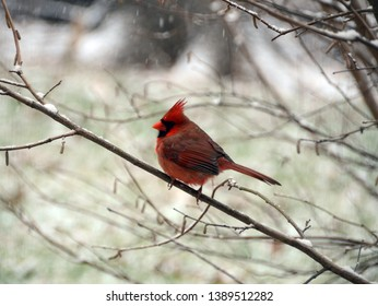 A fiery bright red male northern cardinal with its crest up and looking back over its shoulder from a bare twigged hazelnut shrub in the falling snow in winter on a cloudy day