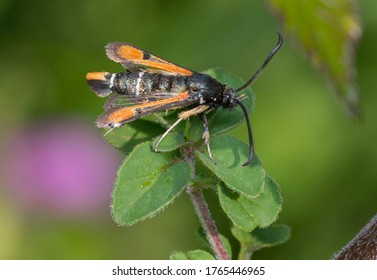 Fiery Clearwing moth, Pyropteron chrysidiformis.Photo made un Spain