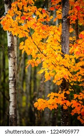 Fiery orange maple tree leaves with birch trees in the background