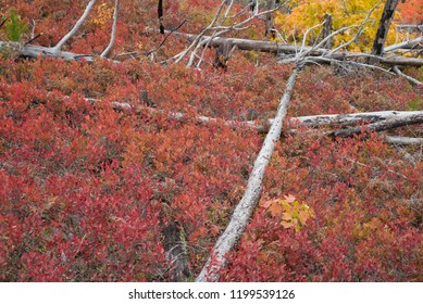 Fiery Red Blueberry Bushes & Dead Trees Forming A Cross