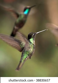 fiery throated and magnificent hummingbird flying, costa rica