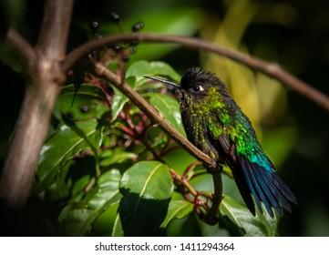 fiery-throated hummingbird (Panterpe insignis), male, san gerardo de dota, Costa Rica.