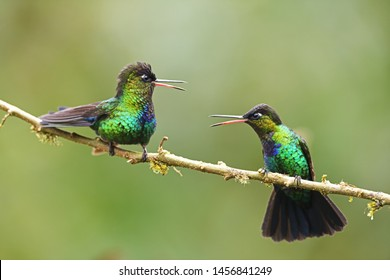Fiery-throated hummingbirds pair sitting on branch fighting