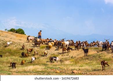 Fierze, Albania - July 25, 2014. Goats herd on the meadow in albanian mountains