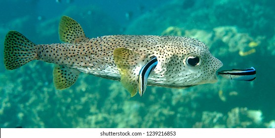 FIFO, porcupine pufferfish (diodon hystrix) being cleaned by two cleaner fish (labroides dimidiatus) at cleaning station , Bali, Indones