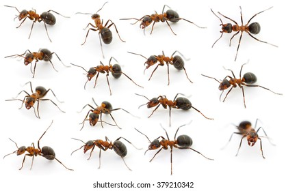 Fifteen forest ants isolated on white background.