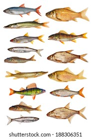 fifteen freshwater fishes collection isolated on white background