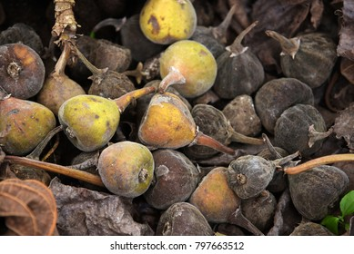 Fig fruits: some fresh, riped fig fruits with dark background.