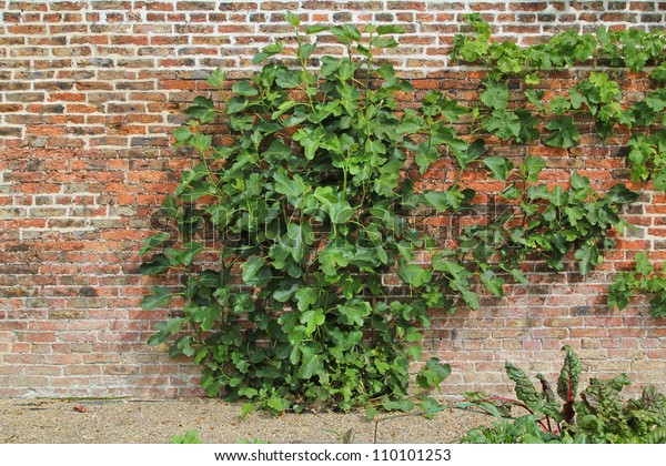 Fig Tree Against Garden Wall Stock Photo Edit Now 110101253