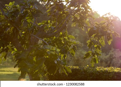 Fig tree in the backlight