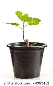 Fig tree in black plastic pot isolated on white background