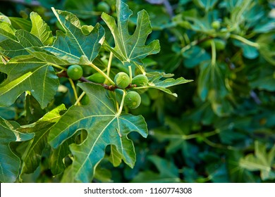 Fig tree. Green fruits on trees branch with leaves. Shallow depth of field.