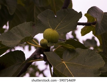 Fig tree, Lucca, Tuscany ,  Italy
