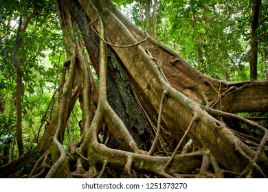 Fig tree in the tropical rainforest of Queensland, Australia. Host tree died making trunk lean.