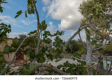 A fig tree under a cloudy sky.