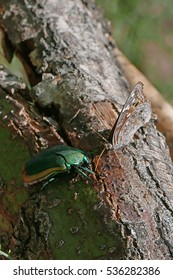 Figeater beetle and butterfly feeding on nectar in a crack of a palo verde tree branch