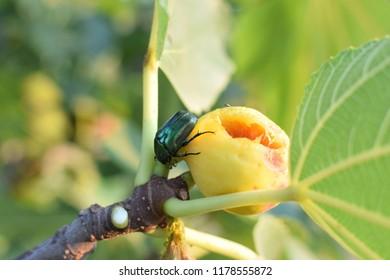 Figeater green scarab beetle feeding on rotten fig fruit.