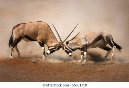 ?Intense fight between two male Gemsbok on dusty plains of Etosha