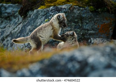 Fight of cute little Arctic Foxes, Vulpes lagopus, in the nature rocky habitat, Svalbard, Norway. Action wildlife scene from Europe.