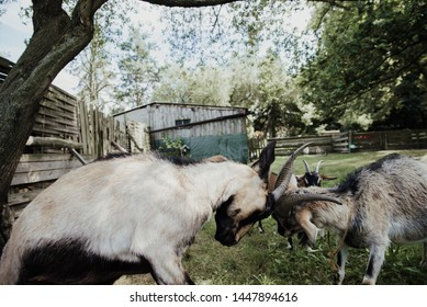 fight of goats in the farm