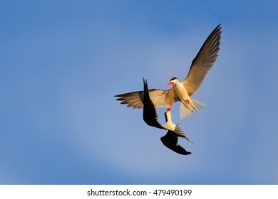 Fight on the sky. Two beautiful black and white bird with red bill fighting on blue sky. Duel on the air. African Skimmer, Rynchops flavirostris, in fly. Flight action wildlife scene in nature, Africa