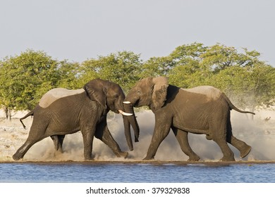 fighting African Elephants at waterhole in Etosha National park, Namibia, Africa
