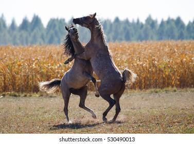 Fighting arabian stallions on the autumn pasture